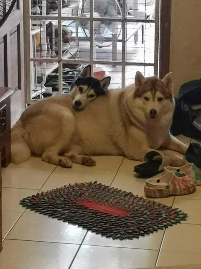 Fat Husky At Home Laying Cuddling On The Floor