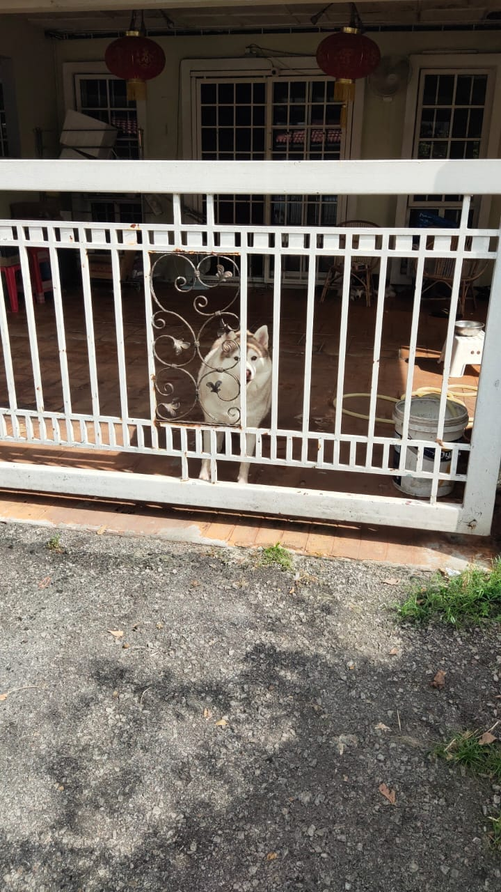 Husky Helps Owner To Get Parcel At Home Behind The Gate