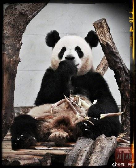 熊猫金宝 03